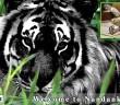 melanistic tiger in nandankanan