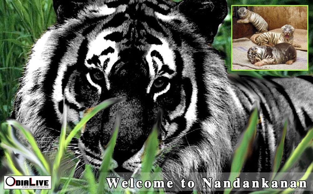 Nandankanan welcomes 4 new born cubs