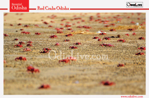 ced-crabs-in-Odisha