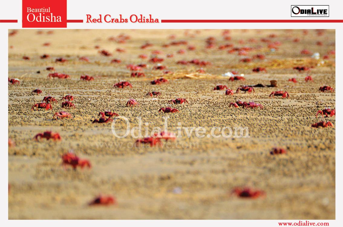Red Crabs in Talsari Beach